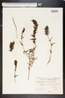 Image of Melampyrum arvense