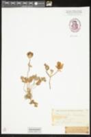 Ranunculus asiaticus image