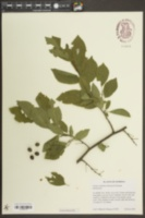 Image of Prunus undulata