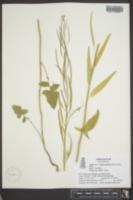 Image of Arabis petiolaris
