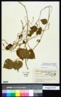 Phaseolus polystachios var. polystachios image