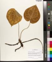 Image of Anthurium clarinervium
