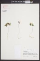 Anemone minima image