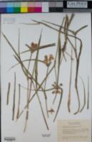 Tradescantia bracteata image