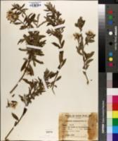 Baccharis dracunculifolia image