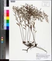 Helianthemum rosmarinifolium image