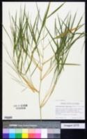 Guadua longifolia image
