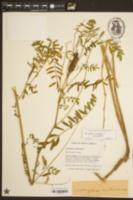 Image of Astragalus carolinianus