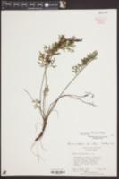 Packera millefolia image