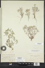 Gnaphalium uliginosum image