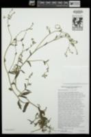 Cryptantha dumetorum image