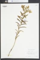 Image of Lithospermum gmelini