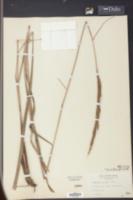 Erianthus strictus image