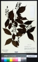 Image of Prunus grayana