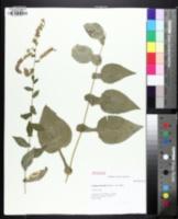 Image of Solidago auriculata