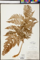 Dryopteris marginalis f. elegans image