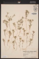 Eriastrum sparsiflorum image