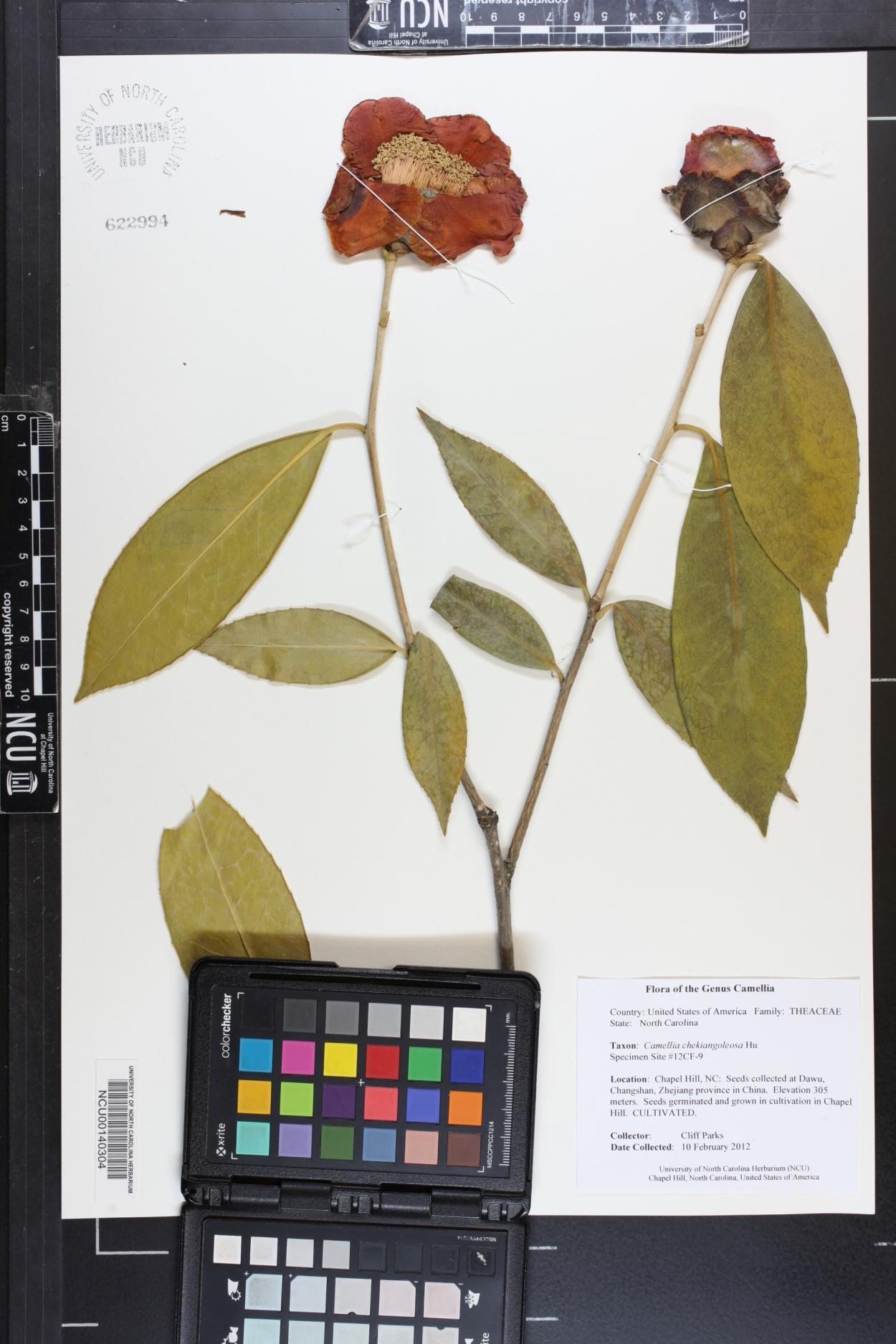 Camellia chekiangoleosa image