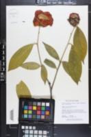 Image of Camellia chekiangoleosa