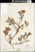 Arctostaphylos stanfordiana image