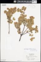 Arctostaphylos montana image