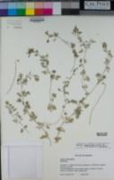 Perityle ambrosiifolia image