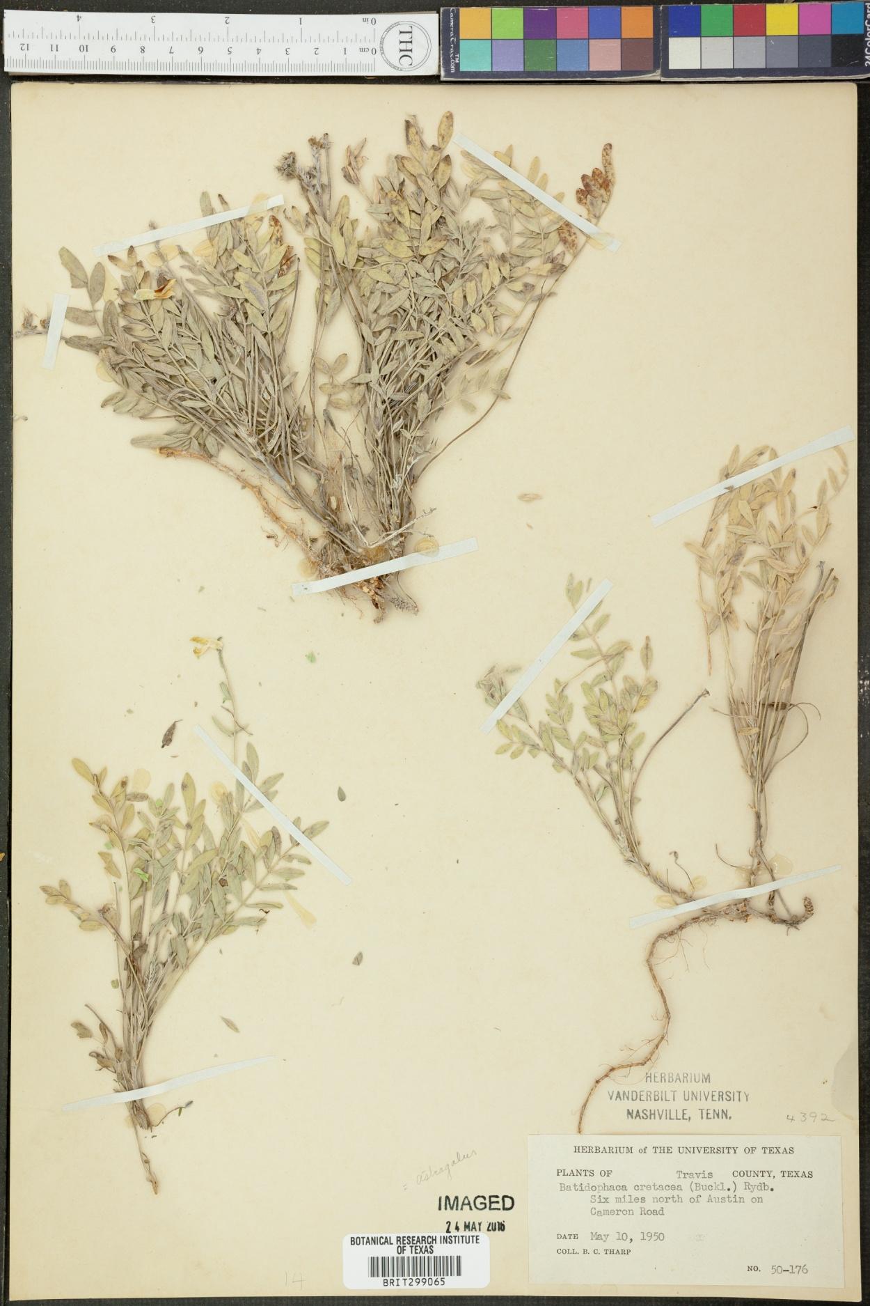 Astragalus cretaceus image