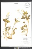 Oxalis grandis image