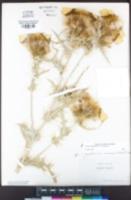 Cirsium douglasii var. douglasii image