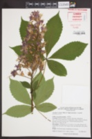 Image of Aesculus x carnea