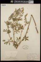 Image of Lupinus alsophilus