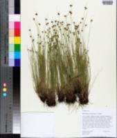 Image of Rhynchospora brachychaeta