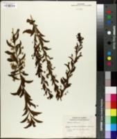 Image of Capraria biflora