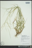 Digitaria filiformis image