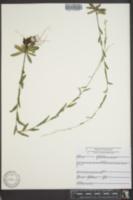 Arabis pycnocarpa var. adpressipilis image