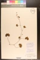Image of Hydrocotyle grossulariifolia