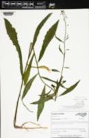 Image of Boechera canadensis
