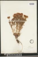 Image of Xylorhiza parryi