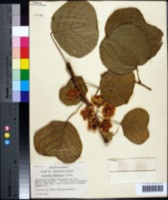 Image of Actinidia chinensis