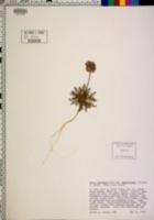 Gilia capitata subsp. chamissonis image
