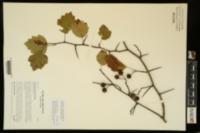 Crataegus intricata var. biltmoreana image