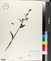 Cephalanthera damasonium image