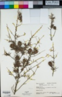 Tsuga heterophylla image