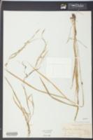 Image of Luziola alabamensis