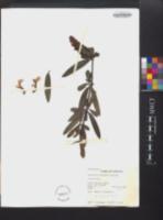Barleria lupulina image