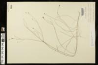 Agalinis filicaulis image