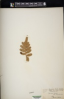 Polypodium scouleri image