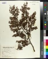 Image of Larrea cuneifolia