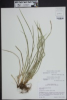 Carex superata image