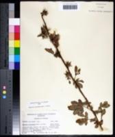Hibiscus acetosella image
